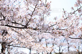 光に満ちた桜の花 - No.702496