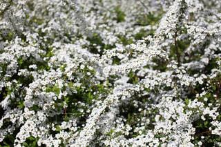 白い小さな花が咲いているの写真・画像素材[702497]