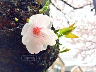 花の写真・画像素材[423918]