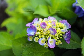 紫陽花のブーケの写真・画像素材[1205754]