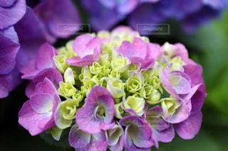 紫陽花のブーケの写真・画像素材[1205755]