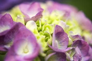 ピンクの紫陽花 - No.1206760