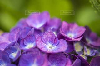 赤紫色の紫陽花の写真・画像素材[1206762]