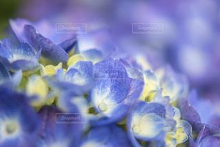 青い紫陽花の写真・画像素材[1206764]
