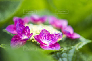 鮮やかな色の額紫陽花の写真・画像素材[1206766]