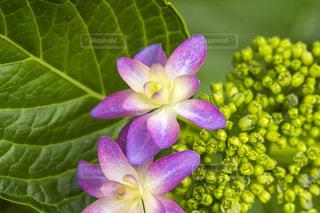 ピンク色の額紫陽花の写真・画像素材[1206767]