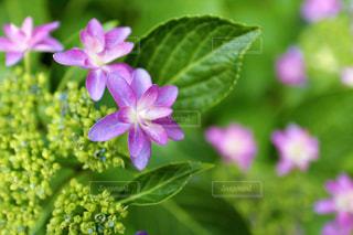 ピンク色の額紫陽花の写真・画像素材[1206769]