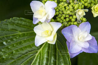 白い額紫陽花の花 - No.1207095