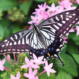 花に止まるアゲハチョウの写真・画像素材[1537148]