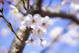青空がよく似合う桜の花の写真・画像素材[2003741]