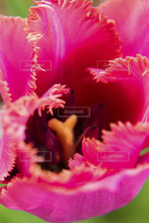 フリンジ咲きのチューリップの写真・画像素材[2011405]