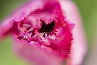 フリンジ咲きのチューリップの写真・画像素材[2011406]