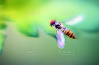 苺の葉に止まる小さな蜂の写真・画像素材[2066029]