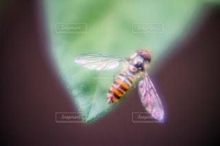 苺の葉に止まる小さな蜂の写真・画像素材[2066030]