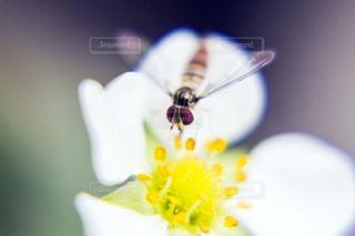 苺の花の蜜を吸う小さな蜂の写真・画像素材[2066031]