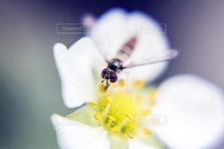 苺の花の蜜を吸う小さな蜂の写真・画像素材[2066032]