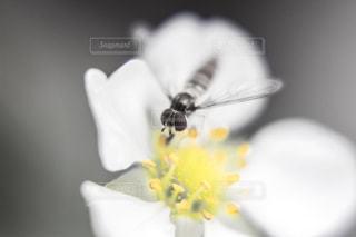 苺の花の蜜を吸う小さな蜂の写真・画像素材[2066033]