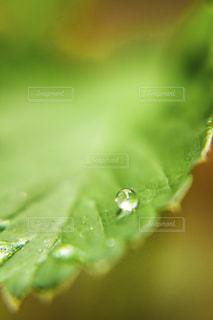 苺の葉に雨の滴の写真・画像素材[2066034]