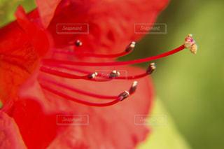 赤いサツキの花クローズアップ写真の写真・画像素材[2086569]