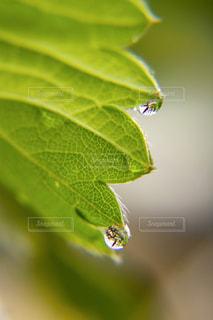 苺の葉とレインドロップの写真・画像素材[2086611]