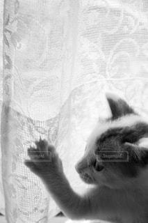 レースのカーテンで遊ぶ子猫ちゃんの写真・画像素材[2151458]