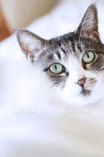こちらをみつめる鯖トラ猫の小雪の写真・画像素材[2491434]