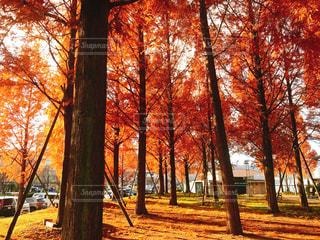 紅葉する大きな木の写真・画像素材[900825]