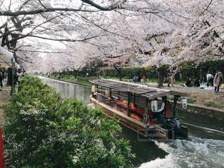 伏見の屋形船と桜の写真・画像素材[2093381]