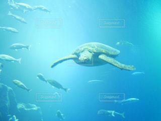 泳ぐウミガメの写真・画像素材[1844334]