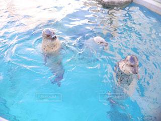 水面に顔を出すアザラシの写真・画像素材[1844337]