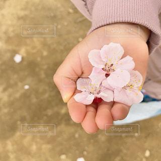 桜の花びら見つけたよの写真・画像素材[4242636]