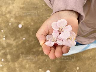 桜の花びらの写真・画像素材[4242637]