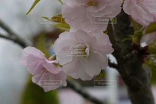 桜の写真・画像素材[376404]