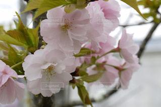 桜の写真・画像素材[376405]