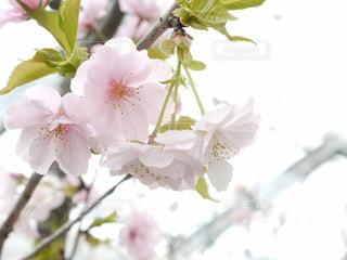 桜 - No.376406
