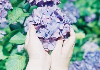 紫陽花の写真・画像素材[897909]