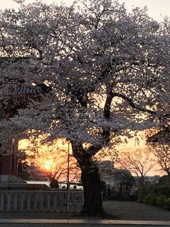 夕映え桜の写真・画像素材[1085255]