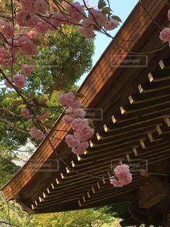 八重桜🌸の写真・画像素材[1106901]