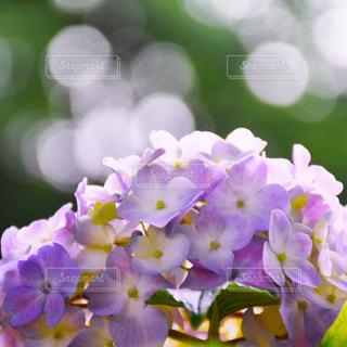 紫陽花の写真・画像素材[609011]