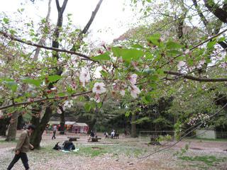 桜の写真・画像素材[445304]