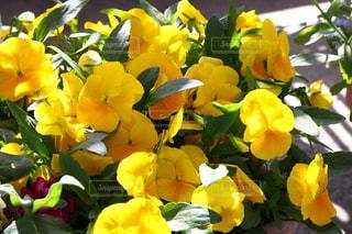 近くに黄色い花のアップの写真・画像素材[1115986]