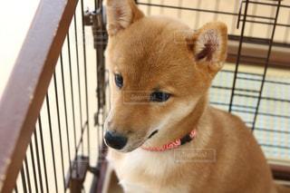 カメラを見て犬の写真・画像素材[1165783]