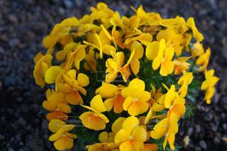 近くに黄色い花のアップの写真・画像素材[1170962]