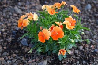 地面に横になっているオレンジ色の花の写真・画像素材[1170963]