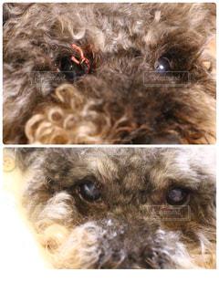 目の上の大きなイボ…糸で固く結び様子を見ていたが約1週間で取れました!!の写真・画像素材[1174798]