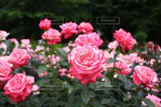 近くの植物にピンクの花のアップの写真・画像素材[1178483]