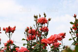 テーブルの上に花瓶の赤い花の写真・画像素材[1178515]