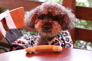 テーブルの上に座っている犬の写真・画像素材[1250982]