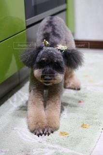 テーブルの上に座って小型犬の写真・画像素材[1696432]