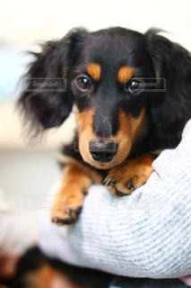 黒と茶色の犬の写真・画像素材[1722805]